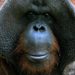 Otcul Sanılan Orangutanlar Et Yerken Görüldü!